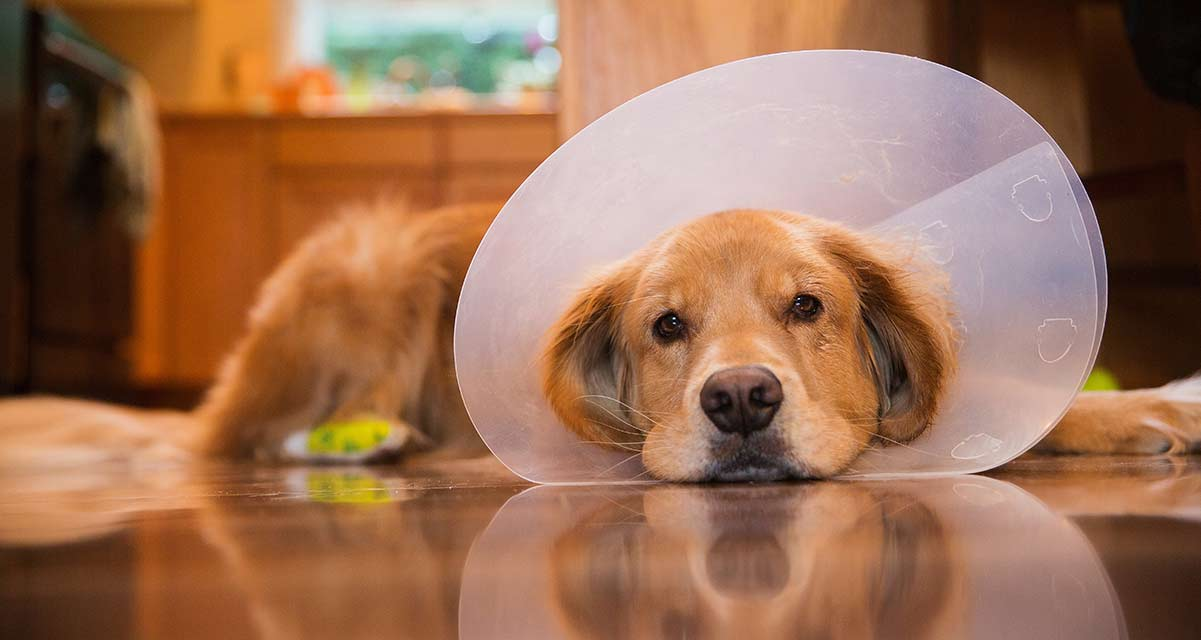 dog recovering after spay with e cone